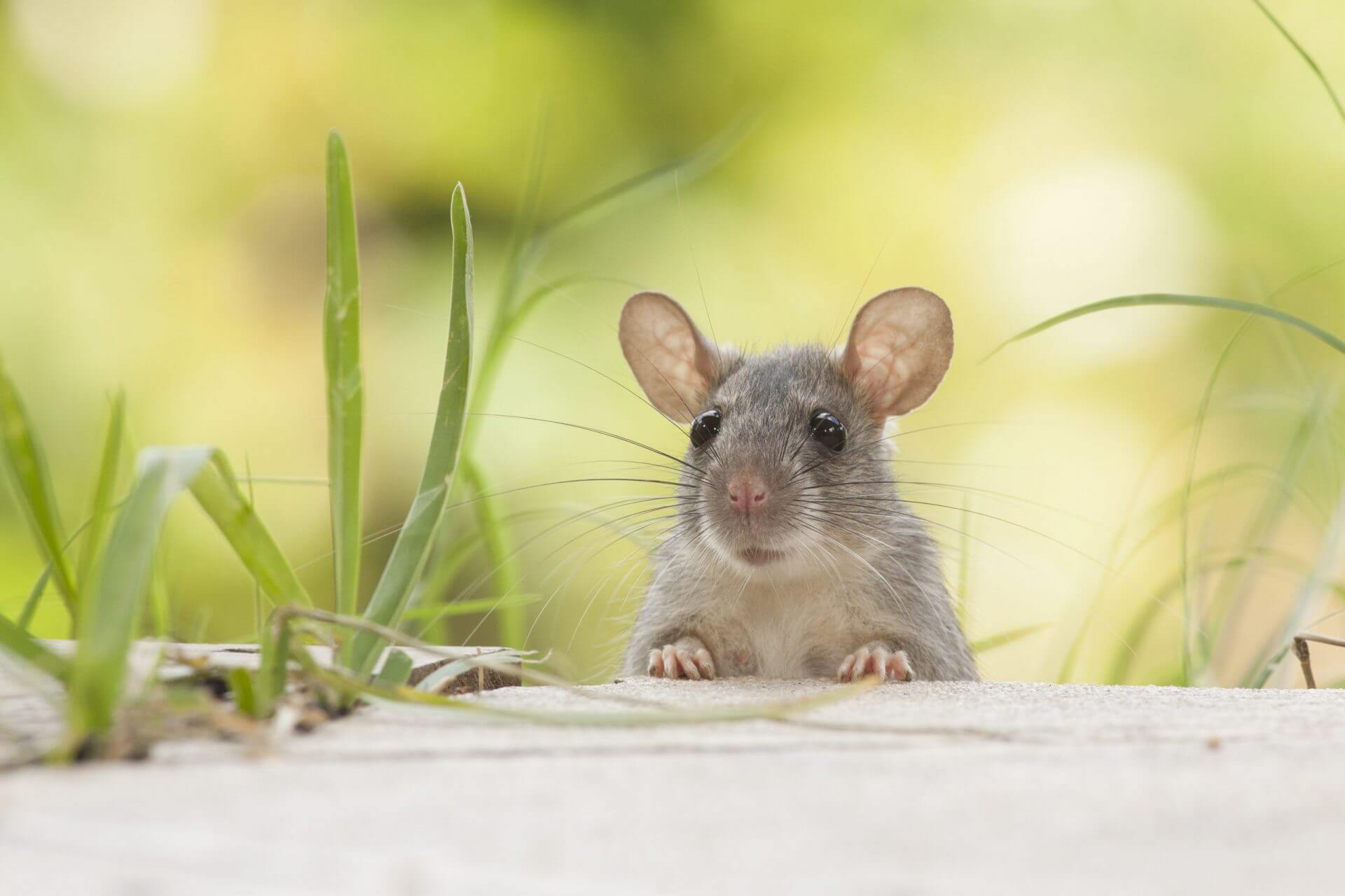 Keep vermin out of your home by scheduling rodent control service.